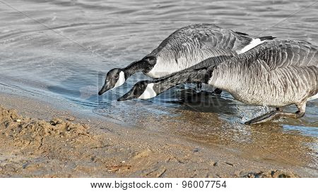 ITS NECK AND NECK - two Canada Geese racing to reach the Beach - fading to gray