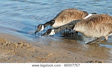 ITS NECK AND NECK - two Canada Geese racing to reach the Beach