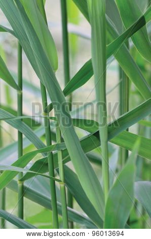 Common Reed Phragmites Leaf, Australis Cav. P. Communis Trin. Ex Steud. Japonicus Leaves, Grass-like