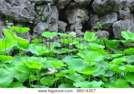 Lotus Leaves And Flowers