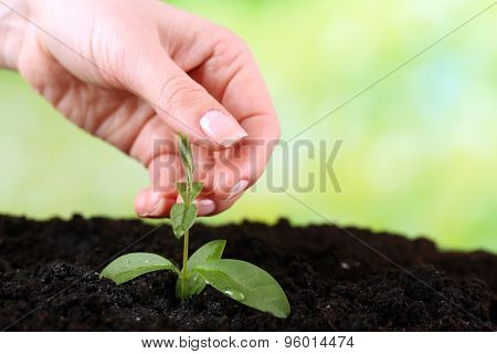 Hand holding green seedlings in soil on bright background