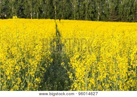 A Yellow  Canola Field With Tractor Track