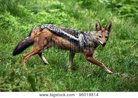 Black-backed jackal (Canis mesomelas). Wildlife animal.