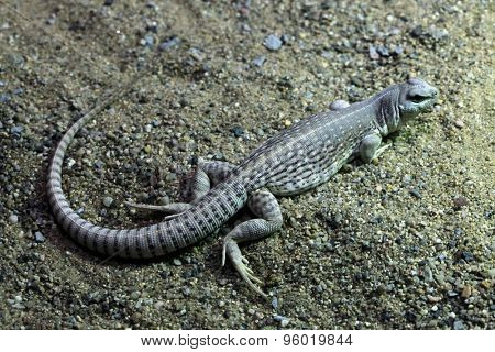 Desert iguana (Dipsosaurus dorsalis). Wildlife animal.