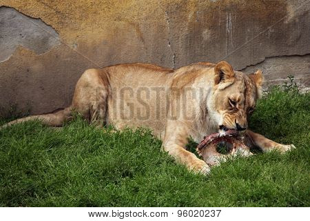 Katanga lion (Panthera leo bleyenberghi), also known as the Southwest African lion. Wildlife animal.