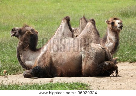 Bactrian camel (Camelus bactrianus). Wildlife animal.