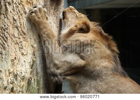 Barbary lion (Panthera leo leo), also known as the Atlas lion. Wildlife animal.