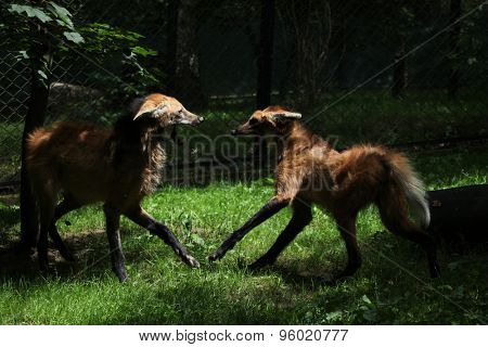 Two maned wolfs (Chrysocyon brachyurus) fighting. Wildlife animal.