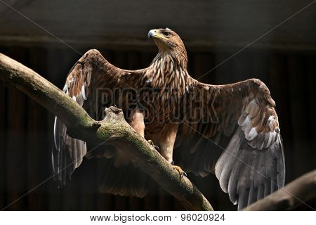 Eastern imperial eagle (Aquila heliaca). Wildlife animal.