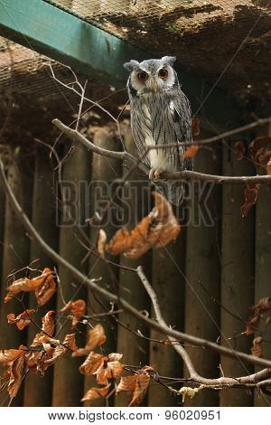 Southern white-faced owl (Ptilopsis granti). Wildlife animal.