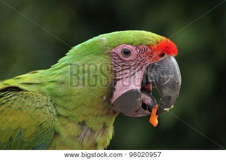 Great green macaw (Ara ambiguus), also known as the great military macaw or Buffon's macaw. Wildlife animal.