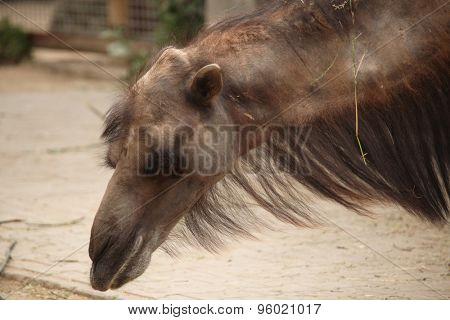 Bactrian camel (Camelus bactrianus). Wild life animal.