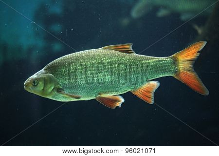 Common rudd (Scardinius erythropthalmus). Wildlife animal.