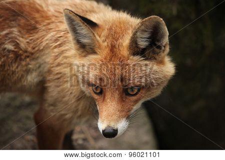 Red fox (Vulpes vulpes). Wild life animal.