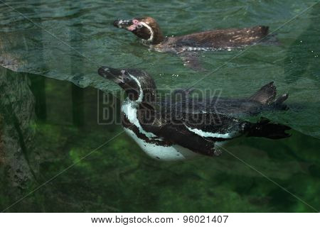 Humboldt penguin (Spheniscus humboldti), also known as the Chilean penguin. Wild life animal.