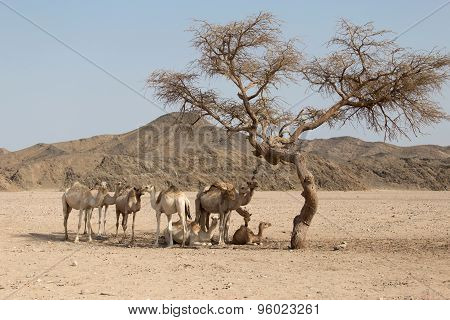 Camels Resting Under The Acacia Tree