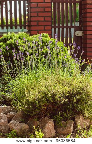 Lavender on rockery