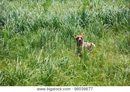 Spaniel running and hunting