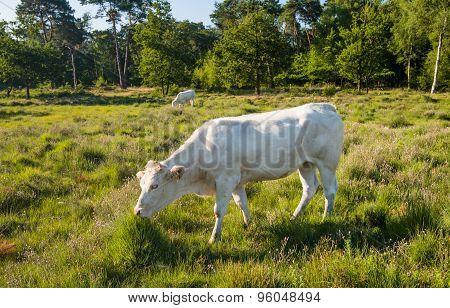 White Cow Standing In Moorland With Flowering Heather