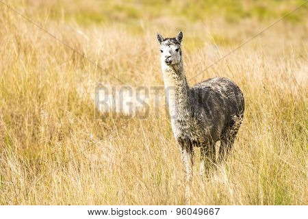 Alpaca by itself in a field