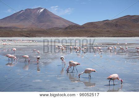Flamingos in Lagoon Hedionda, Bolivia, Atacama desert