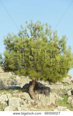 The Young Cedar
