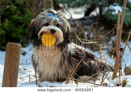 Playful Havanese Dog Is Sitting In The Snow With His Ball