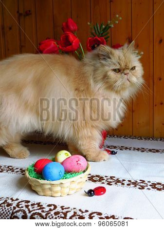 Portrait of an adult Persian cat standing on the kitchen table with flowers and a basket of Easter e