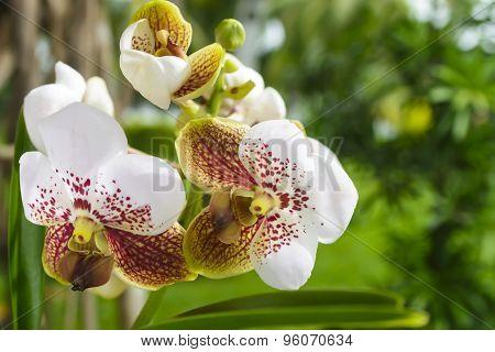 Asian Vanda Orchid