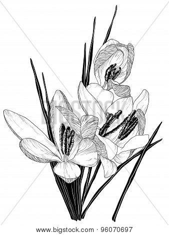 sketch of blooming crocus flowers
