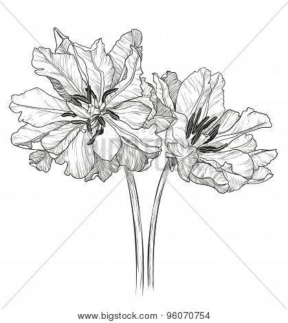 Sketch of tulips on a white background