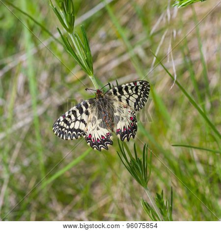 Southern Festoon butterfly in its habitat
