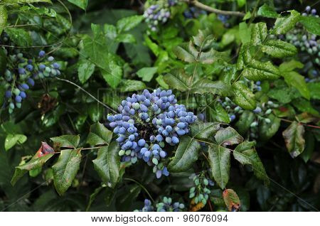Mahonia aquifolium (Oregon-grape or Oregon grape).