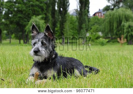 Mongrel dog, mongrel dog similar to the breed Cairn Terrier or a Australian terrier.
