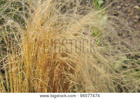 Stipa pennata, common name feather grass.