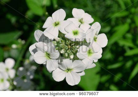 Hesperis white