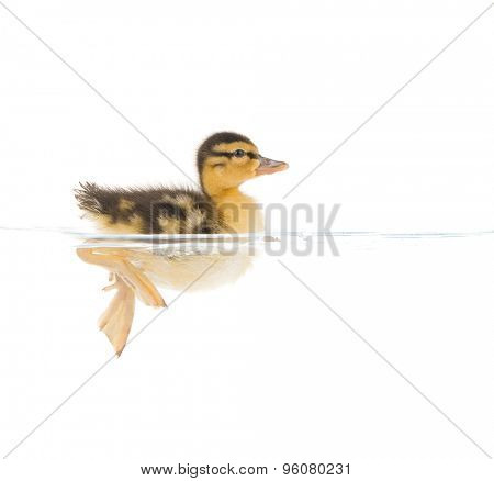 a baby duckling paddling in clear water isolated on a white background