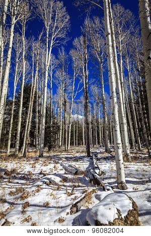 San Francisco Peaks behind aspen trees near Flagstaff, Arizona