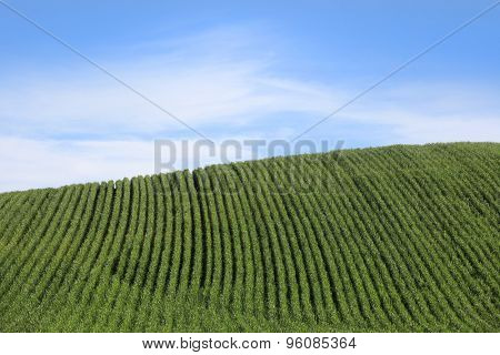 Wheat fields against blue sky background