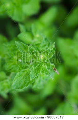 Healthy Green Leaves of Aromatic Mint