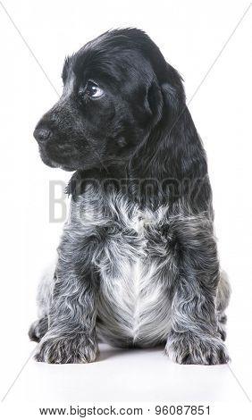 worried puppy - english cocker spaniel puppy - 7 week old female