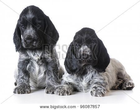 litter of english cocker spaniel puppies - 7 weeks old