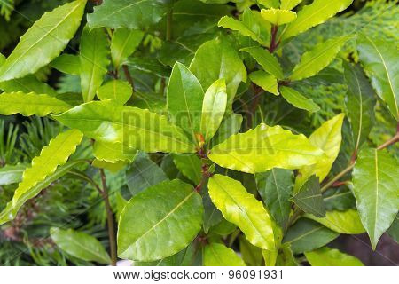 Grecian Laurel (laurus Nobilis)