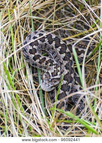Hungarian Meadow Viper (vipera Ursinii Rakosiensis)