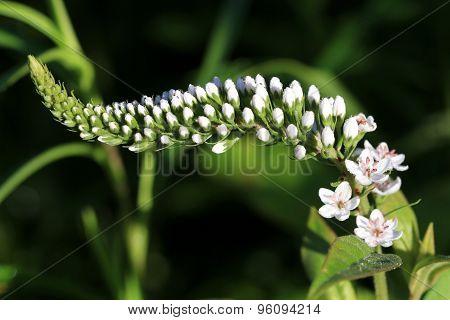 Goose Neck flower