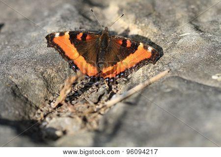 Milbert's Tortoise Shell Butterfly