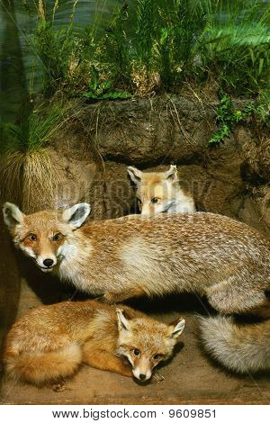 family of foxes