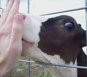 pic of licking  - A Holstein calf licking the palm of a hand - JPG