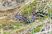 picture of dry grass  - Hungarian meadow viper  - JPG