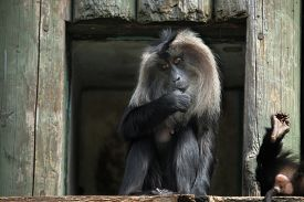 pic of macaque  - Lion - JPG